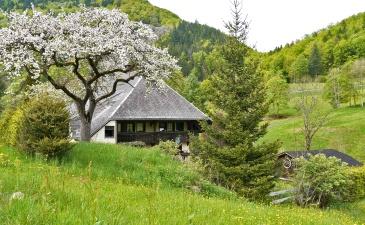Grünes Tal, ein Schwarzwaldhaus steht hinter einem blühenden Obstbaum